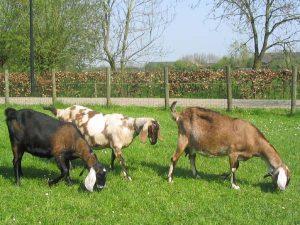 kambing, rumput,pohon