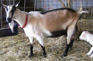 kambing, rumput,kandang