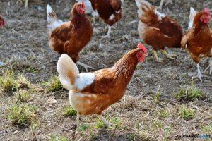 ayam, tanah, kotoran ayam